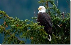Bald eagle near the Mendenhall Glacier in Juneau, Alaska