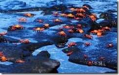 Red rock crabs (Grapsus grapsus), Galapagos Islands, Ecuador