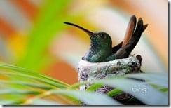 Rufous-tailed Hummingbird (Amazilia tzacatl) sitting in nest./Manuel Antonio National Park, Puntarenas, Costa Rica, Central America