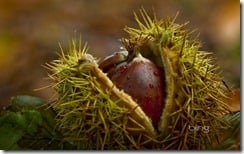 Chestnuts in the Forest of Crecy, France