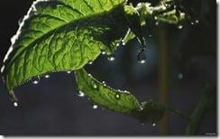 Dew on tomato plants