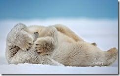 Polar Bear (Ursus maritimus) rolling in the snow, Beaufort Sea, Arctic Coast, Alaska.