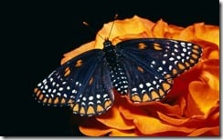 Baltimore Butterfly