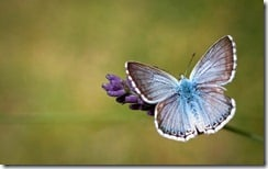 Butterfly on lavender, Provence, France
