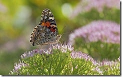 Painted Lady Butterfly, McLeansville, North Carolina, U.S.