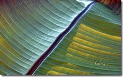 Detail shot of a banana leaf, Mainau Island, Germany, Europe.