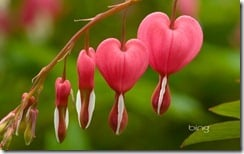 Dicentra, England.  Bleeding heart, Dutchman's trousers (Dicentra spectabilisis a popular and striking flowering shrub and perennial.