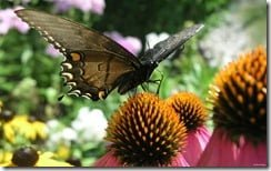 Monarch butterfly on echinacea