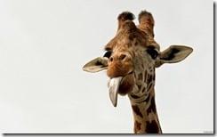A cheeky giraffe