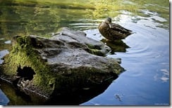Wading mallard