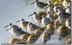"""Willets in J. N. """"Ding"""" Darling National Wildlife Refuge on Sanibel Island, Florida"""