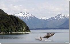 Baby humpback whale breaching in Alaska
