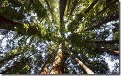 Looking up redwoods in Big Sur, California, U.S.