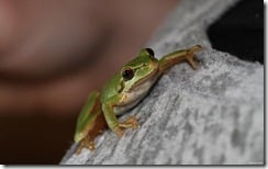 Tree frog, close-up