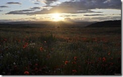 Sun setting over a field of daisies, cornflowers, and poppies, Moncreiffe Hill near Perth, Scotland, U.K.