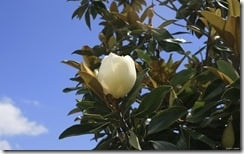 Magnolia blossom from a Magnolia tree, Fort Walton Beach, Florida, U.S.