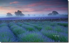 Lavender fields at dawn