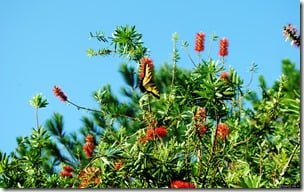 Monarch Butterfly and Honey Bee on a Bottle Brush plant