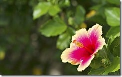 Hibiscus flower in two colors