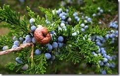 Juniper berries, Point Au Roche, Plattsburgh, New York