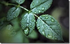 Leaf with droplets