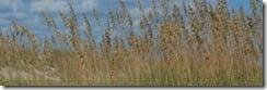 msbandbeachgrass